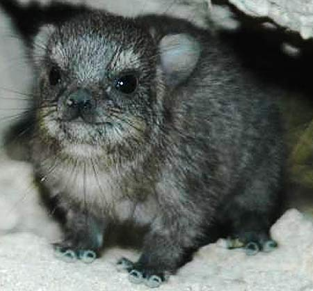 baby hyrax kır sıçanı kaya porsuğu gülen hayvan sevimli clever-baby-hyrax.jpg