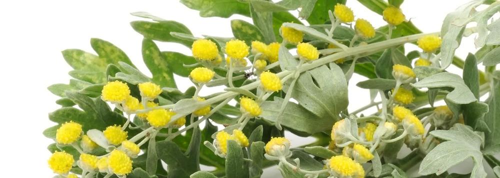 Davana+Oil elde edilen davana sarı salkımlı çiçekleri flowers yellow .jpg