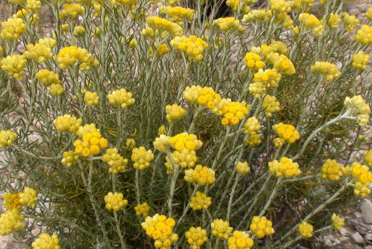 Helichrysum immortelle ölmez otu bitkisi PT_115-1.jpg