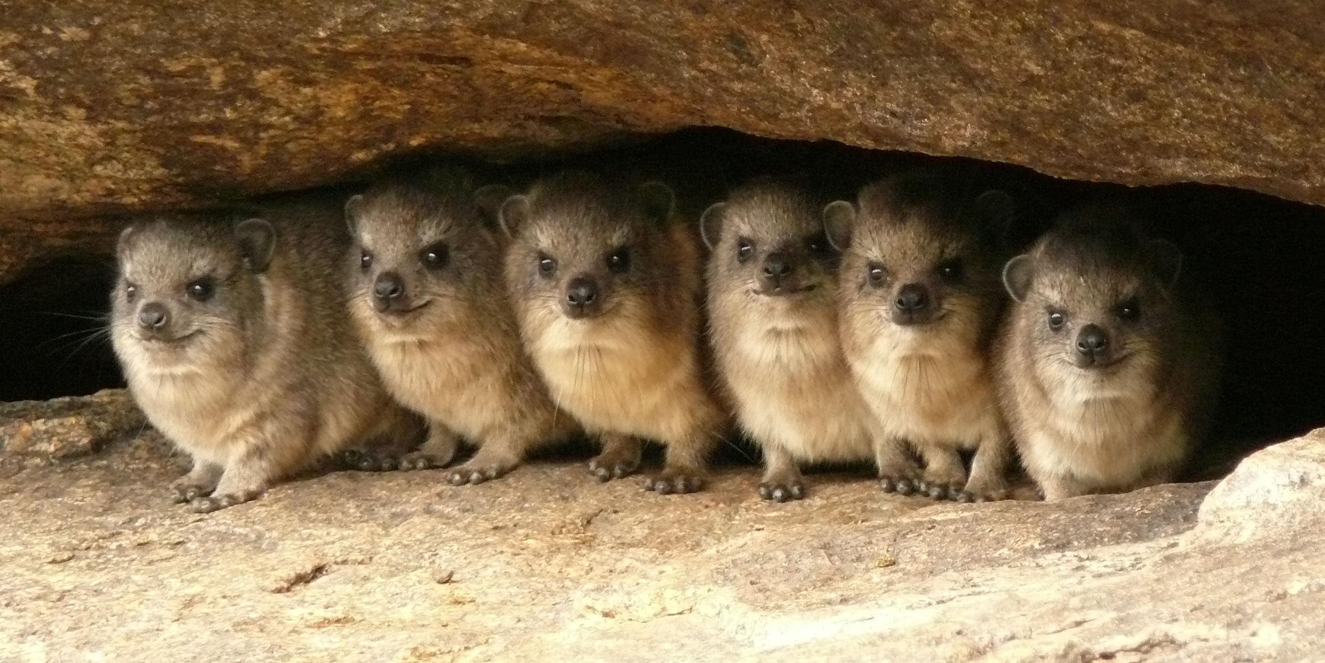 hyrax kır sıçanı kaya porsuğu gülen hayvan sevimli rock-hyrax.jpg