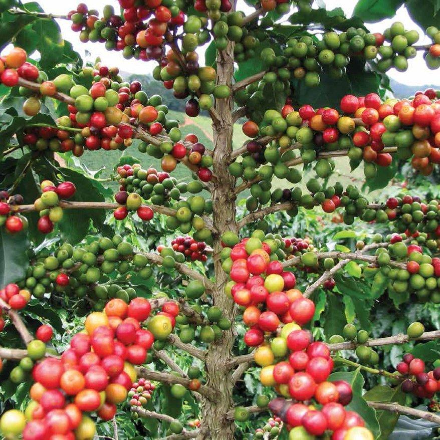 kahve çekirdeği meyvesi, içinde kahve çekirdeği var b_kahve_cekirdegi.jpg
