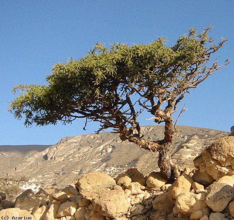 myrrh tree mür ağacı resimi 2.jpg