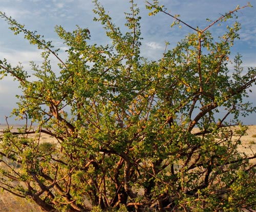 myrrh tree mür ağacı resimi 3.jpg