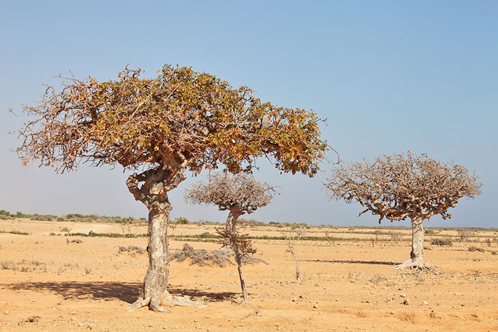 myrrh tree mür ağacı resimi.jpg