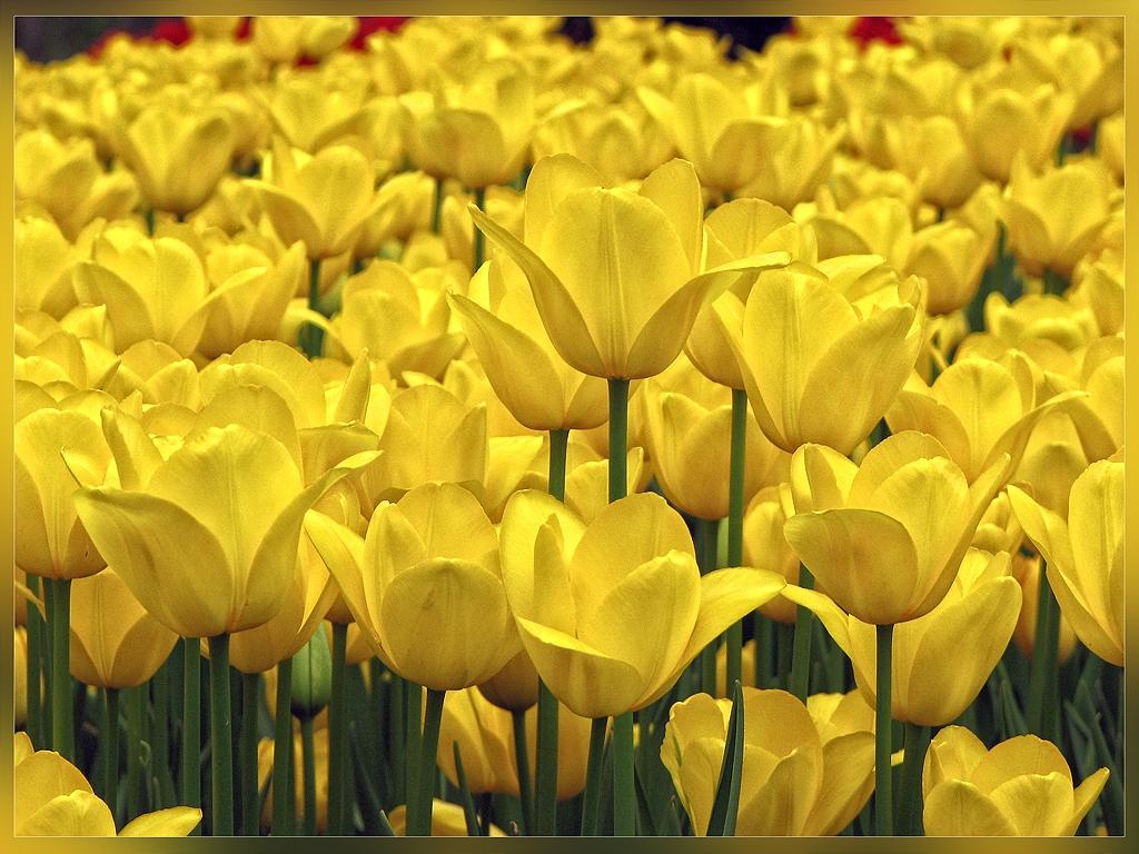 Sarı lale mutluluk simgeleridir