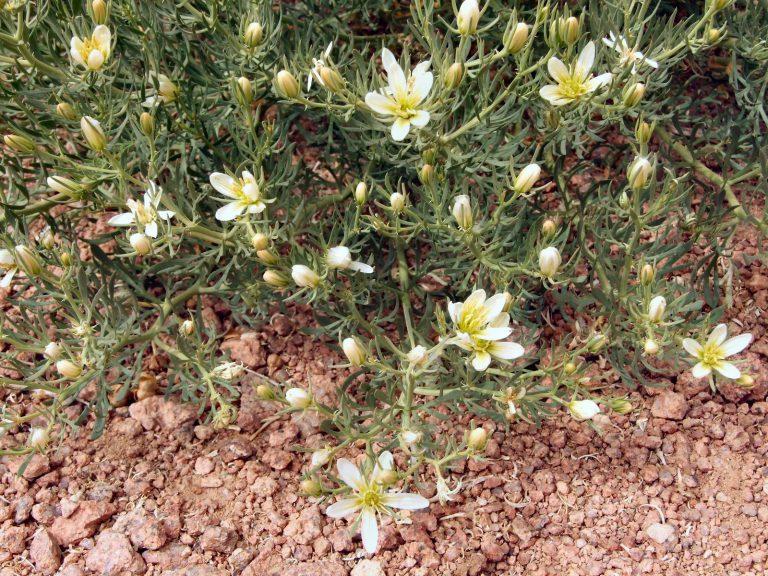 üzerklik otu çiçek halde Üzerklik çiçeği Uzerlik-Otu-Nerede-Yetisir-768x576.jpg