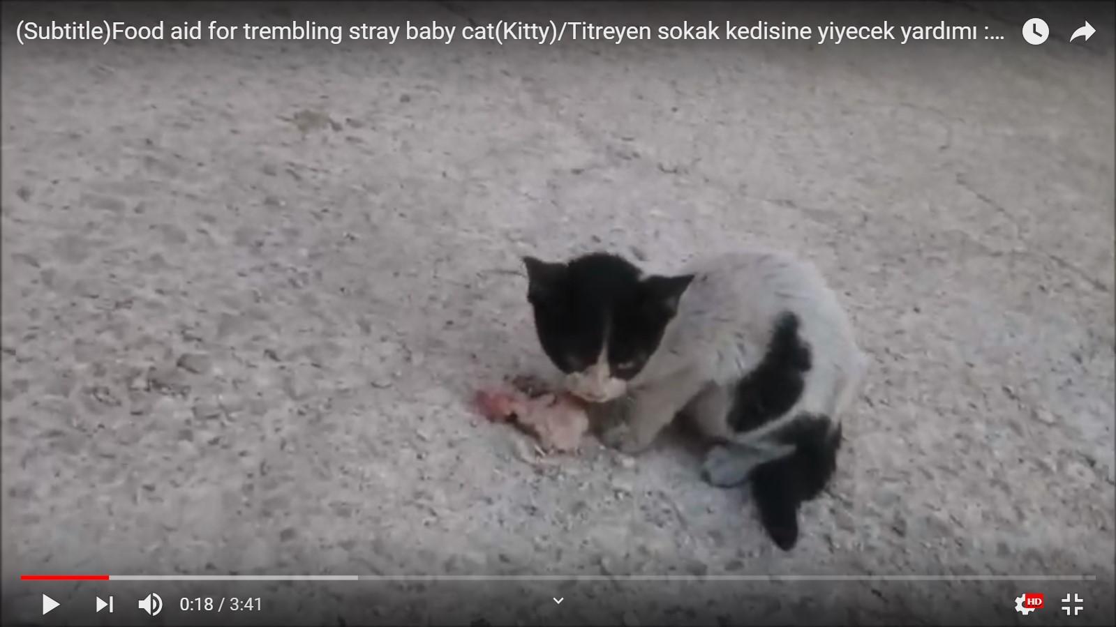Zavallı titreyen yavru sokak kedisine yardım yemek vermek tavuk ciğeri kalbi daşlık Scree...jpg