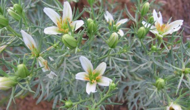 zerklik otu tomurcuk ve çiçek açmış halde özerklik çiçeği 970702_14e7d3614519b3442c18...jpg